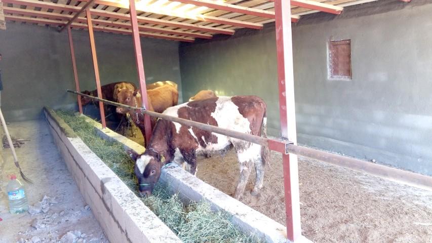Yozgat'ta 124 çiftçiye 744  büyükbaş hayvan dağıtıldı