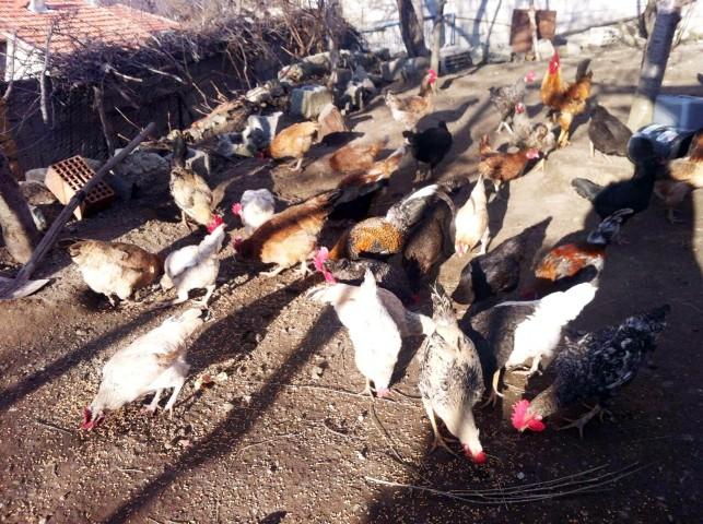Vatandaşlara kene avcısı  'Atak' cinsi tavuk dağıtılacak