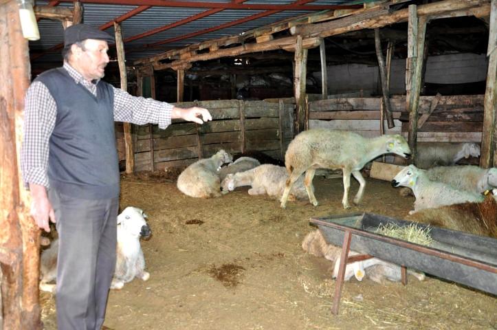 40 koyunun telef olmasının  ardından inceleme başlatıldı