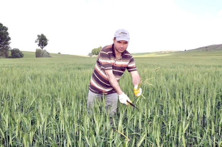 Çiftçiler yabancı otla  mücadeleye başladı
