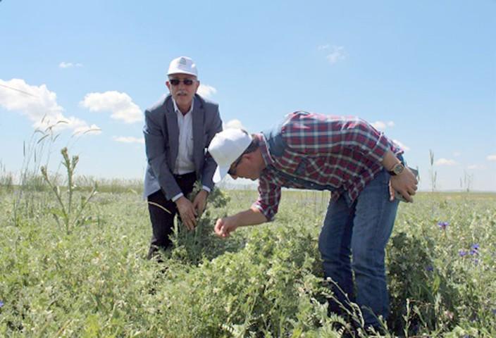 Toprak işlemsiz ekimi yapılan  Macar Fiği'nin hasadı yapıldı