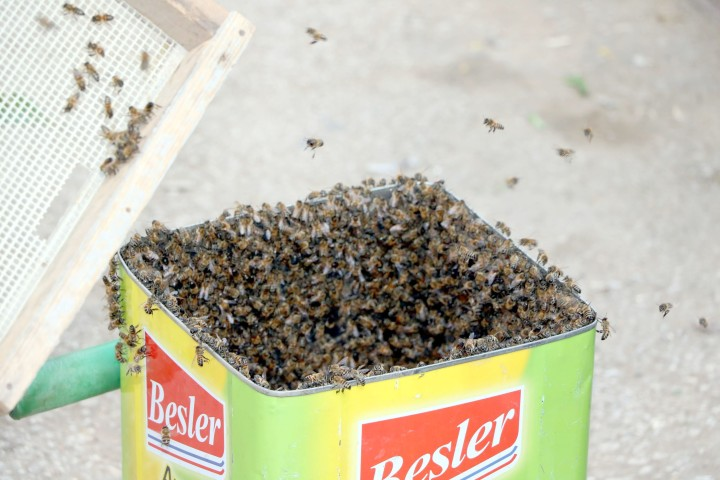 Kaçan bal arılarını  tenekeyle toplandı
