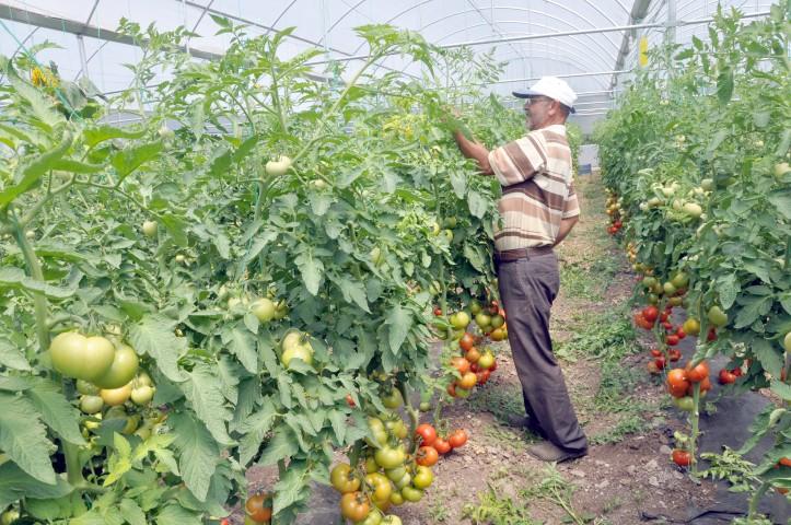 Sofralara organik domates