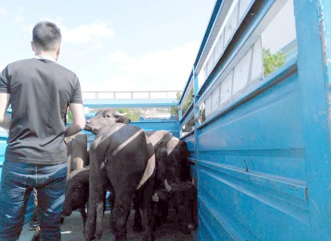 Genç çiftçi hibe hayvan dağıtımı yapıldı