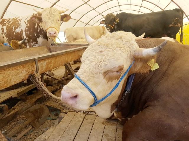 Kurbanlık hayvanların  kulak küpelerine dikkat