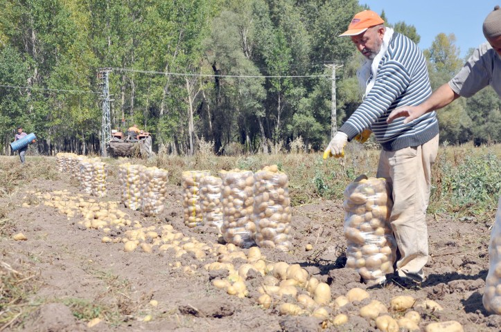 Sorgun'da patates hasadı başladı
