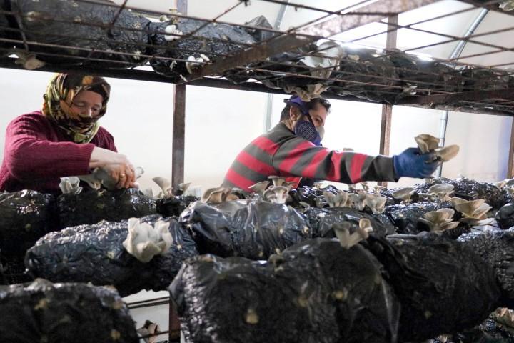 Devletten aldığı destekle kurduğu  tesiste ayda 1 ton mantar üretiyor