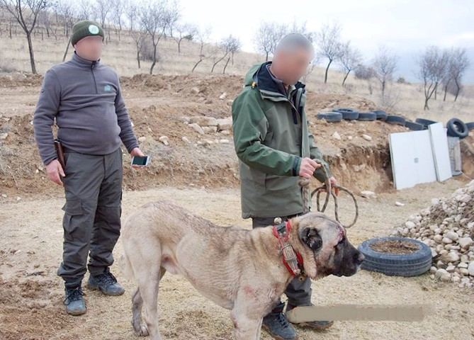 Köpek dövüşü için 7 ilden  gelen 100 kişiye operasyon