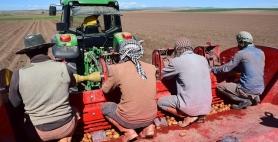 Yerli patates ekimi yapıldı