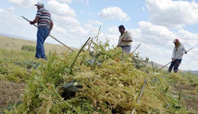Yozgat'ta yeşil mercimek hasadı başladı