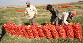 Soğan üreticisi, masrafını kurtaramamaktan şikayetçi